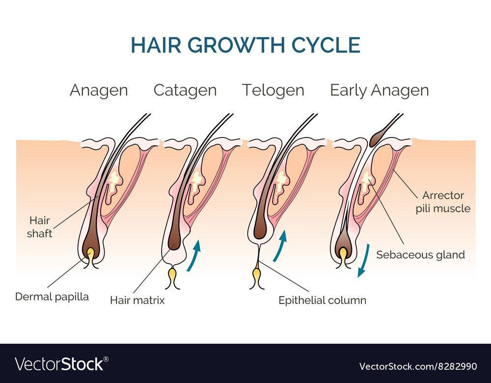 Cykl wzrostu włosów a skuteczność depilacji laserowej